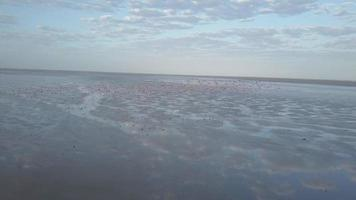 Aerial drone view of pink flamingos birds wild animals in a safari in Africa lake. video
