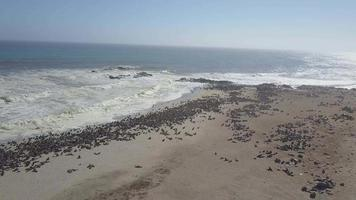 Aerial drone view of pod of seals and sea lions at a Africa beach. video