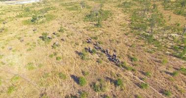 Vista aérea de un dron de una manada de elefantes animales salvajes en un safari en las llanuras de África. video