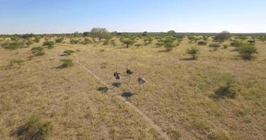 Vista aérea de una manada de avestruces animales salvajes en un safari en las llanuras de África. video