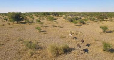 Aerial drone view of a herd of ostriches wild animals in a safari in Africa plains. video