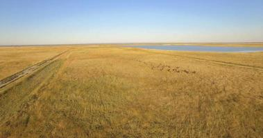 Aerial drone view of a herd of wildebeest wild animals in a safari in Africa plains. video