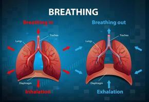 el proceso de respirar explicado vector