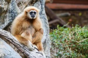 Gibbon hylobates lar, chiangrai, Tailandia foto