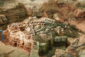 fósil de phuwiangosaurus sirindhornae en el museo sirindhorn, kalasin, tailandia. fósil casi completo foto