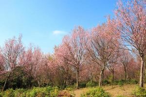 Árbol de cerezo salvaje del Himalaya Prunus cerasoides sakura en Tailandia en la montaña de Phu Lom Lo, Loei, Tailandia foto