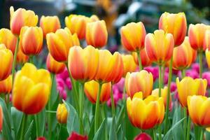 flores de tulipán en el jardín. color naranja y rosa. foto