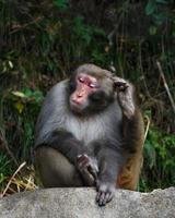 Mono sentado sobre una roca y rascarse la cabeza en el parque nacional de Zhangjiajie, China foto