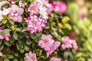 Fondo de flores de rododendro rosa. floración de primavera foto