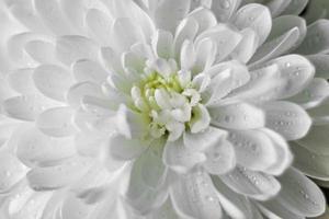 Fondo de flor de crisantemo con gotas de agua de cerca foto
