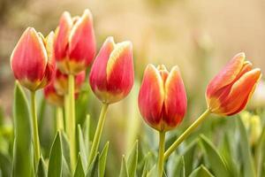 tulipanes rojos en un parterre en el jardín. primavera. puesta de sol floreciente foto