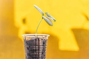 brote vegetal. cultivo de plántulas de pepino jóvenes en tazas. concepto de horticultura y cosecha. foto