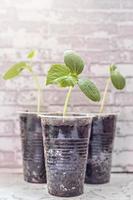 brotes de hortalizas. cultivo de plántulas de pepino jóvenes en tazas. concepto de horticultura y cosecha. foto