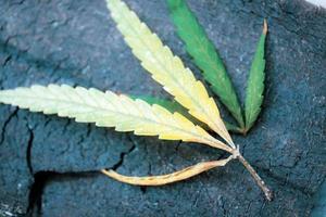 hojas de marihuana sobre madera. foto