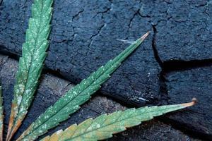 hojas de marihuana sobre piso de madera. foto