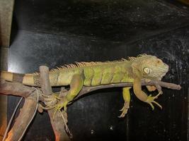cría de iguana en su vitrina foto
