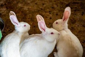 los conejos blancos foto