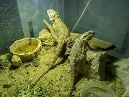 pogona o dragón barbudo muy dócil foto
