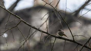 sparrow among the dry branches of a tree photo