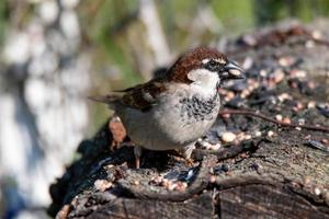 Sparrow resting on a log to eat photo