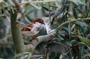 sparrow with feather in its mouth photo