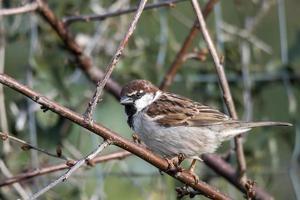 sparrow bird sitting on a wood photo