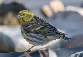 pájaro serin posado para buscar comida foto