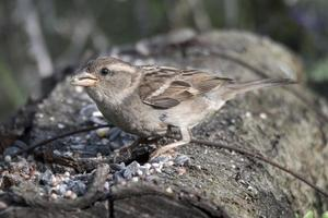 sparrow bird perched on a log that eats photo