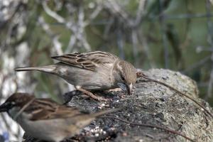 birds couple sparrows resting on a wood photo