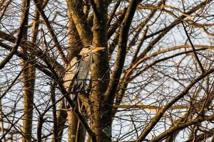 Garza real posado sobre un pino en la ciudad foto