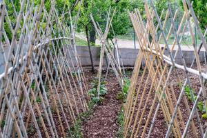 planta de tomates en crecimiento foto