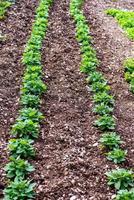 plantación de guisantes foto