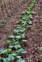 la plantación de calabacín foto