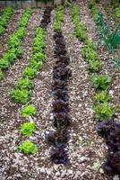 la plantación de ensaladas foto
