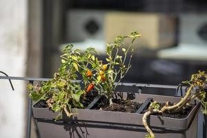 chilli seedling planted on a pot photo
