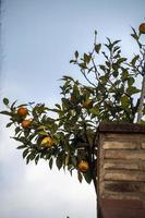 planta de mandarina fuera de una casa foto