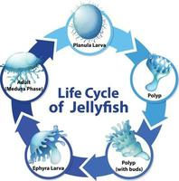 Diagram showing life cycle of Jellyfish vector