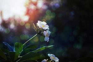 White Plumeria flowers in the park. photo