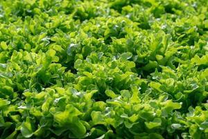 Fresh Frillice Iceberg lettuce leaves Salads vegetable hydroponics farm photo