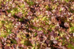 Lechuga de roble rojo fresco deja ensaladas granja hidropónica vegetal foto