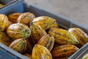 Cacao fruit raw cacao beans and Cocoa pod background photo