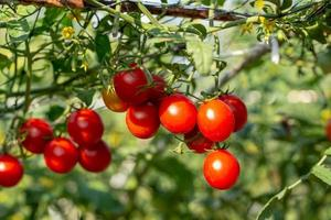 Ripe red tomatoes are hanging on the tomato tree in the garden photo