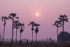 Vista de la línea de palmeras palmira asiática o palmera de azúcar y campo de arroz verde foto