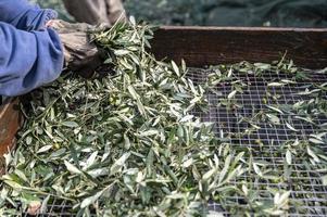 capatura de aceituna de las hojas con passino foto