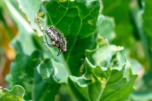 insecto en hoja de repollo foto