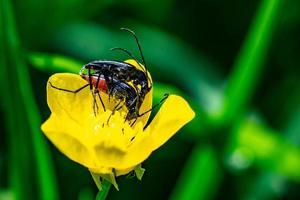 los insectos acopladores foto