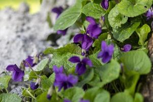 Planta violeta recién florecida en el jardín. foto