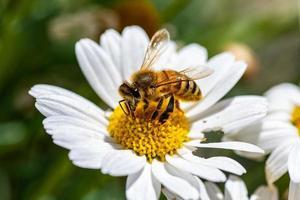 abeja y flor foto