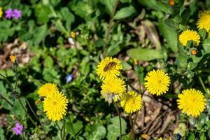 abeja en diente de león amarillo foto