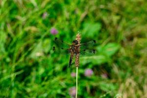 DRAGONFLY ON THE FLOWER photo